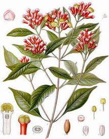 Girofle et médecines douces